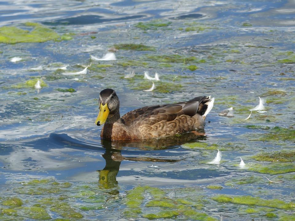 kachna na rybníce